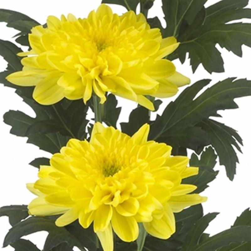 IMARI STILE Abbeydale Crisantemo colazione//pranzo//Piastra insalata 23CM